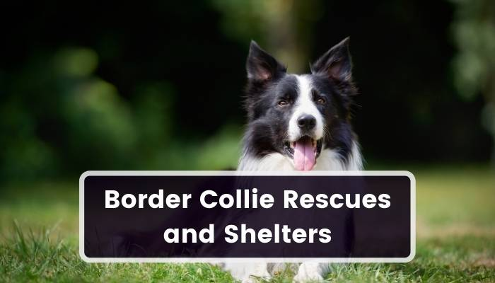 Border Collie Rescues and Shelters