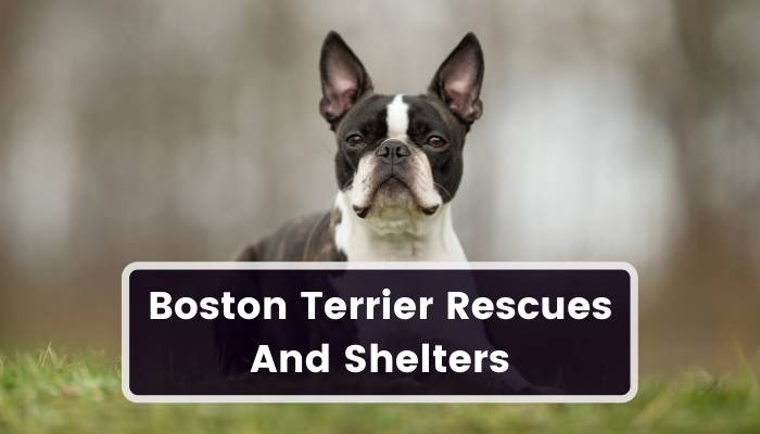 Boston Terrier Rescues And Shelters