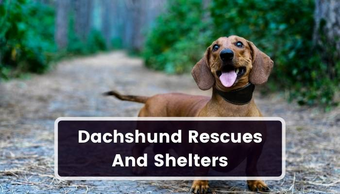 Dachshund Rescues And Shelters