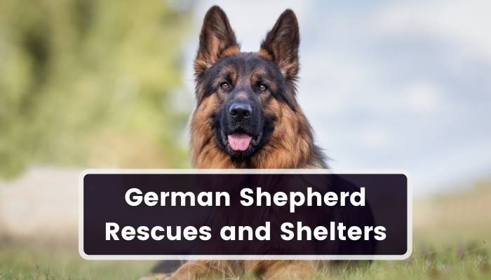 German Shepherd Rescues and Shelters