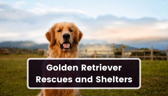 Golden Retriever Rescues and Shelters