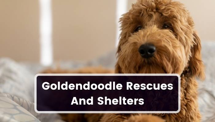 Goldendoodle Rescues And Shelters