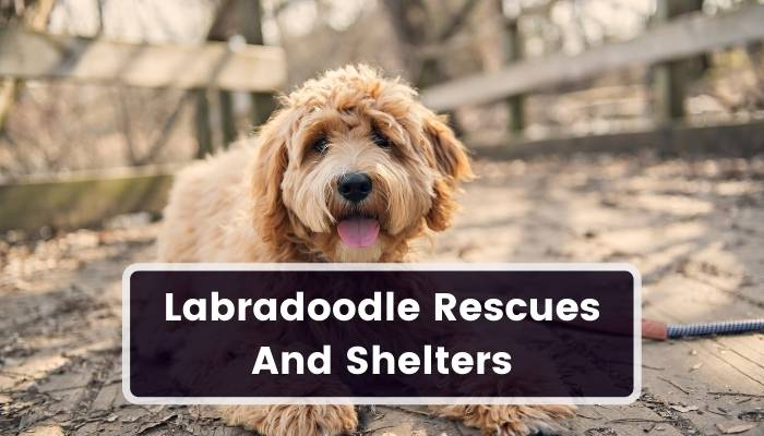 Labradoodle Rescues And Shelters