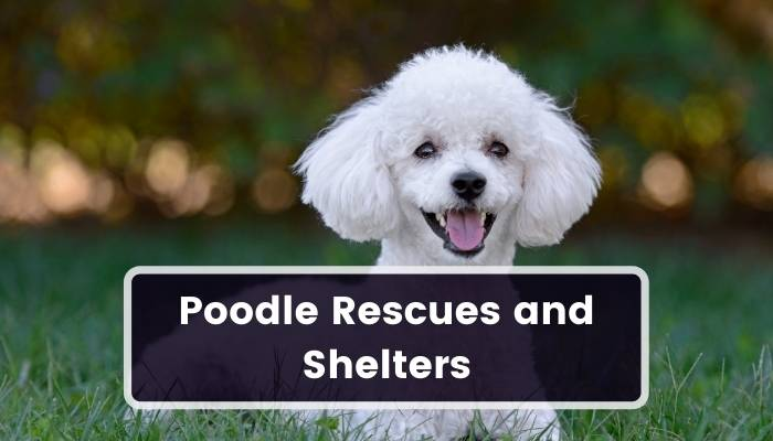 Poodle Rescues and Shelters