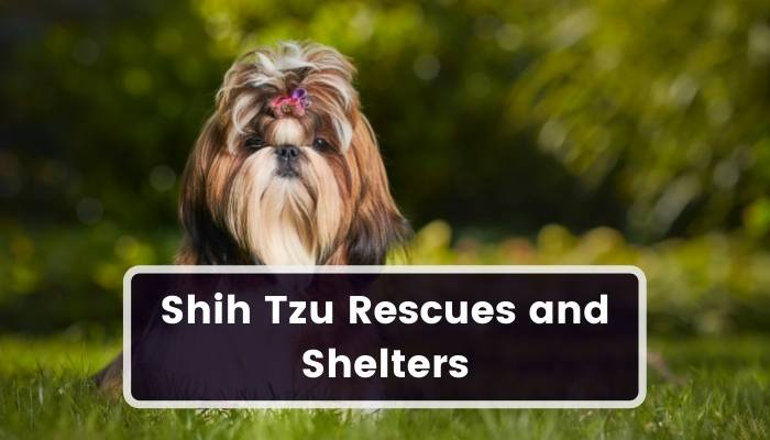 Shih Tzu Rescues and Shelters