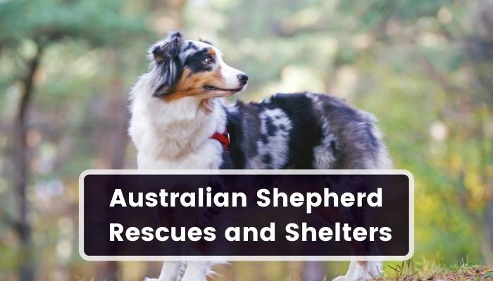 Australian Shepherd Rescues and Shelters