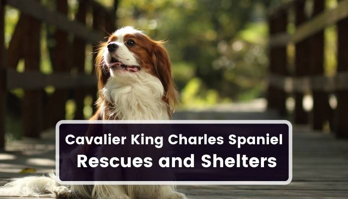 Cavalier King Charles Spaniel Rescues and Shelters