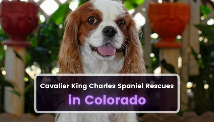 Cavalier King Charles Spaniel Rescues in Colorado CO