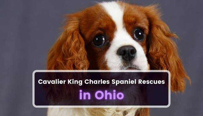 Cavalier King Charles Spaniel Rescues in Ohio OH