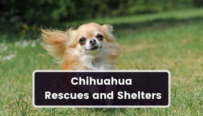 Chihuahua Rescues and Shelters