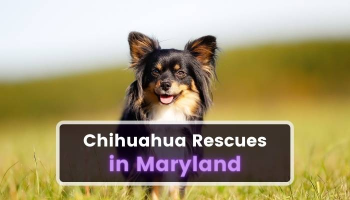 Chihuahua Rescues in Maryland MD