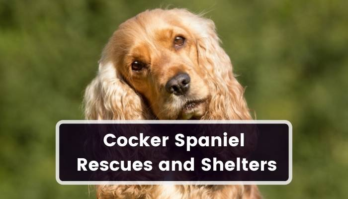 Cocker Spaniel Rescues and Shelters
