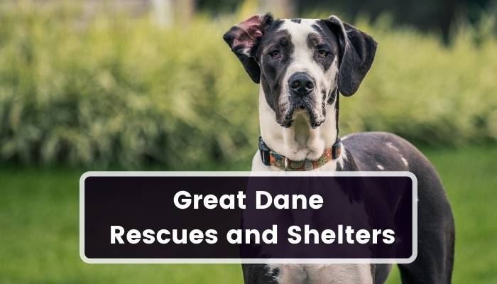 Great Dane Rescues and Shelters