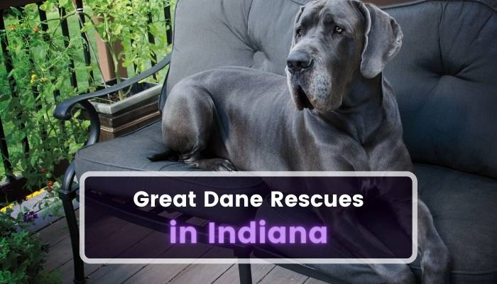 Great Dane Rescues in Indiana IN